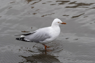 "Silver Gull (Chroicocephalus novaehollandiae) race ""novaehollandiae"".  AKA Sea Gull"