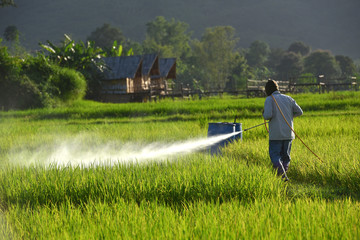 Aerial view from flying drone. Thai farmer spraying chemical to young green rice field. Agriculture concept