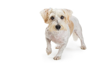 Small White Terrier Crossbreed Dog Walking