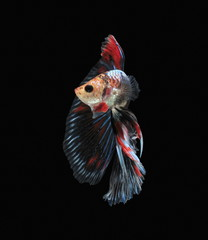 Foto op Canvas Vissen Fighting fish, beautiful fish, beautiful color fighting fish Siam, black background.
