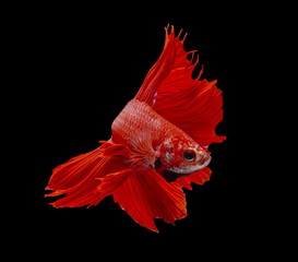 Fighting fish, red fish on a black background, color Siamese fighting fish.