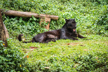 Photo sur Toile Panthère Black leopard or panther sleep on grass in jungle.