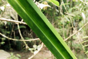 Long leaves in Phuket Thailand