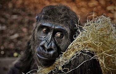 Gorilla sad zoo wildlife animal portrait mammal nature close up black eyes nose mouth