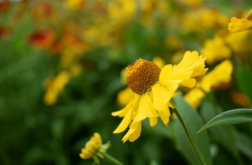 Yellow helenium flowers on a flower bed on a sunny day
