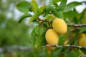 Yellow plums are ripening on the tree in the garden
