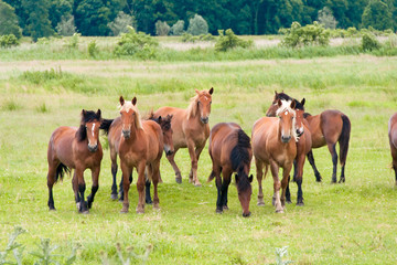 Fototapeta Free running wild horses on a meadow. Country midlands landscape with group of animals.