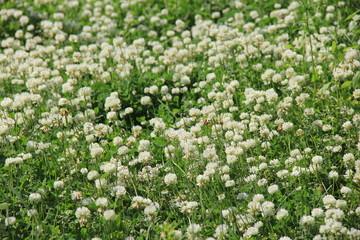 クローバーの花が一斉に咲いている風景(宮城県)