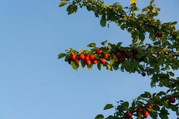 Cherries on the tree. Slovakia