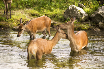 Deer in the Sangro river in Abruzzo National Park