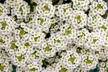 Small White Flowers Background Pattern