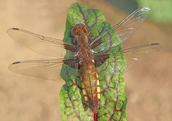 The female Libellula depressa sits to heat the wings on the leaf