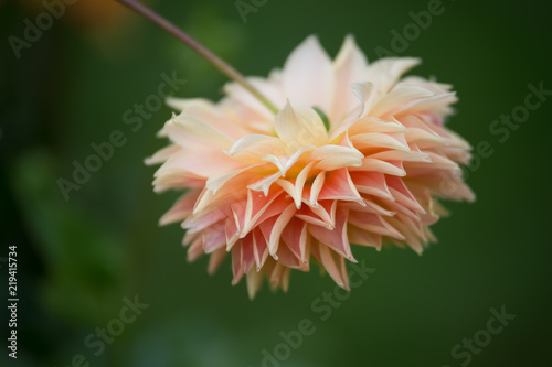 Fleur Dahlia En Couleur Rose Pale Et Blanche Le Matin Stock Photo