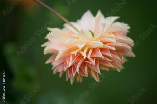 Fleur Dahlia En Couleur Rose Pale Et Blanche Le Matin Stock