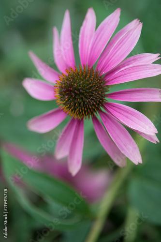 fleur echinacea en couleur de couleur rose et blanche sur fonds vert ...