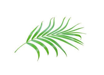 green palm leaf isolated on white background with clipping path