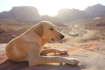Dog at sunset in the mountains of the ancient city of Petra, Jordan
