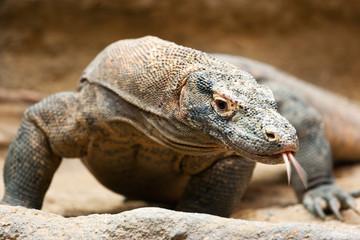 Varanus komodoensis / Komodo dragon,