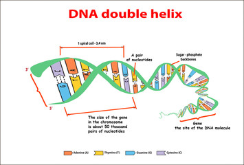 DNA structure double helix on white background. Nucleotide, Phosphate, Sugar, and bases. education vector info graphic. Adenine, Thymine, Guanine, Cytosine