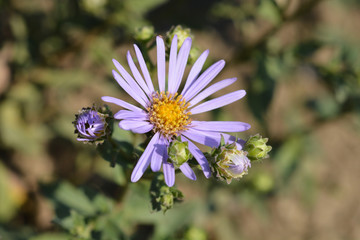Summer Michaelmas daisy