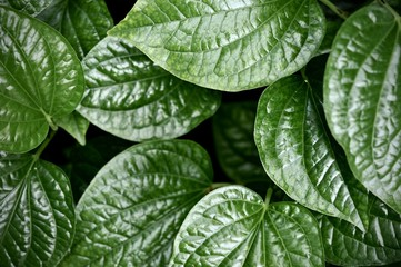 leaves in the tropical forest,Texture of green leaves, leaf in Forest. Garden and Green wall. Green abstract background.