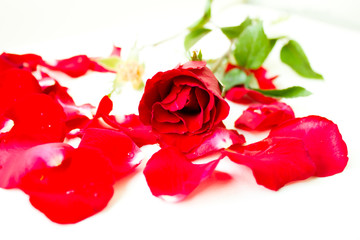 Combination of red rose petals into flower form--conceptual