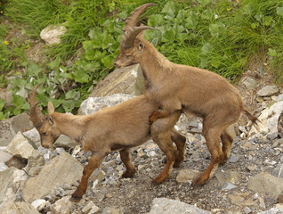 One young alpine ibex skipping on the other