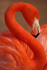 Photo sur Plexiglas Flamingo Portrait flamant rose rouge