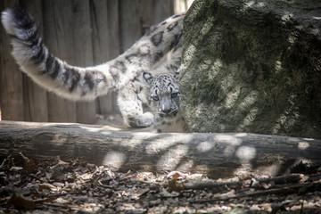 Snow leopard cub.