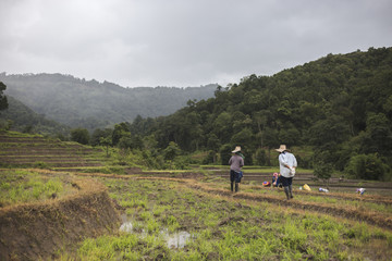 People grow rice in the countryside it Thailand.