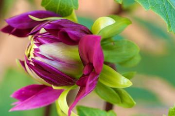 Macro Purple Dahlia Bloom