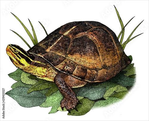 drawing of an amboina box turtle cuora amboinensis stock photo