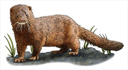 Drawing of an American Mink (neovison vison)