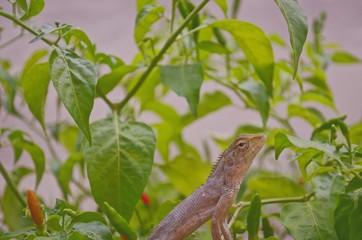 Chameleon on chili peppers
