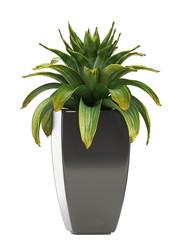 tropical flower Bromelia