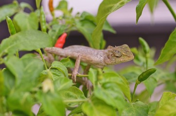 Chameleon on chili peppers