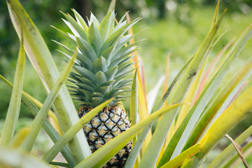Young pineapple in field