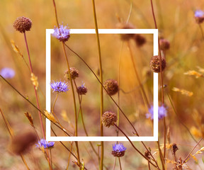 Vintage soft toned autumn field composition devils-bit scabious with white picture frame. Copy space. Nature background. Greeting card template