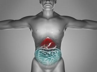 Human body, digestive system