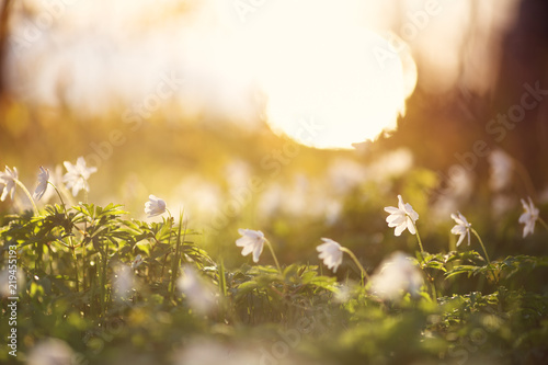 Wall mural view to early spring flowers in the park. Anemone blossom at beautiful sunset with sunlight in the forest in april
