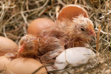 Newly hatched baby chicken drying in the nest