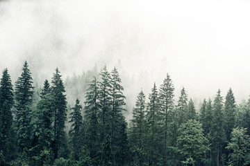 Foggy weather and pine trees with cool shades