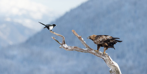 Golden eagle in tree (Aquila chrysaetos) and magpie in Telemark, Norway