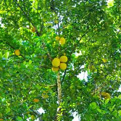 Ripe breadfruit (Artocarpus altilis) on a tree