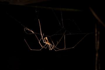 Long legs spider backlit in black background