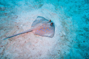 Bluespotted ribbontail ray searching the coral sand in the intertidal zone for food