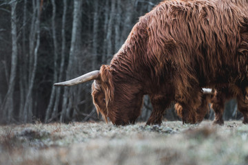 Keuken foto achterwand Schotse Hooglander Beautiful Highland Cattle grazing on a frozen Meadow in a Forest