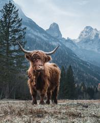 Keuken foto achterwand Schotse Hooglander Single Bautiful Highland Cattle standing alone on a frozen Meadow in front of Huge Peaks in the Italian Dolomites