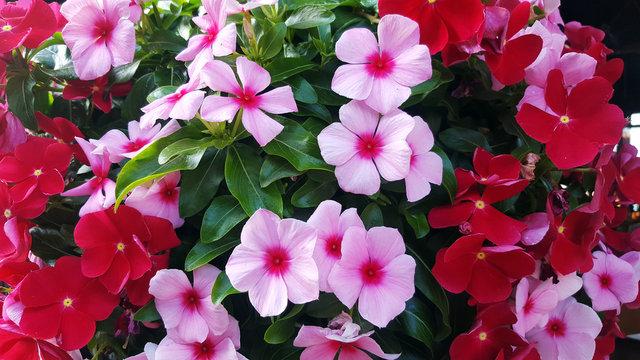 Background of beautiful  Madagascar periwinkle flower