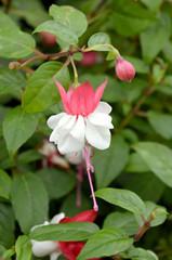 Fuchsia Gotenburg